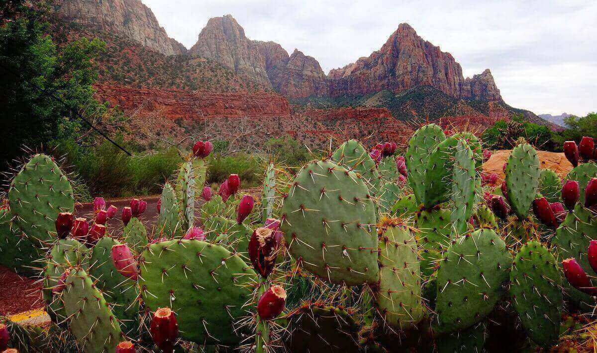 cacti mountains